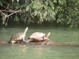 GPS | Panama:  Two turtles adoring the sun