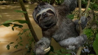 """Splash"" the three-toed sloth features in the ""Under the Canopy"" film sponsored by SC Johnson. Photo Lucas Bustamante"